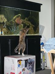 Twix & Fish (lorablong) Tags: twix fish fishtank pet cat california westhollwyood