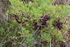 Mastixstrauch (Pistacia lentiscus); Luz (Lagos), Portugal (55) (Chironius) Tags: portugal algarve luz frucht fruit frutta owoc fruta фрукты frukt meyve buah rosids malvids sapindales seifenbaumartige anacardiaceae sumachgewächse laub