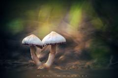 Siamesas 2 (www.studio360fotografia.es) Tags: setas zeissikontalon pinardelrey 85mm 28 mushroom siamesas bokeh desenfoque colores colors fantasia fantasy olympus omd em10 proyector projector fungi