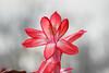 Christmas Cactus (dorameulman) Tags: macro flower christmascactus cactus holiday haiku dorameulman canon canon7dmark11 sigma105mmf28exdgmacroos