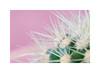 Cactaceae (Meu :-) (On/Off)) Tags: cactus succulentplants dreamy pastel soft spines goldenbarrelcactus echinocactusgrusonii