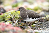 Black Turnstone (lauren_larsenn) Tags: black turnstone lauren larsen wildlife photography sandy point washington pacific northwest shorebird wild bird laurenlarsen wildlifephotography blackturnstone sandypoint