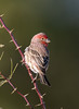 House Finch (Ed Sivon) Tags: america canon nature lasvegas wildlife wild western southwest desert clarkcounty clark vegas bird henderson nevada nevadadesert park