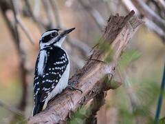 Hairy Woodpecker (When Photographed) Tags: hairy woodpecker bird wood tree nature wildife birdwatching