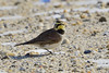 Horned Lark (jt893x) Tags: 150600mm bird d500 eremophilaalpestris hornedlark jt893x lark nikon nikond500 sigma sigma150600mmf563dgoshsms songbird alittlebeauty coth thesunshinegroup sunrays5 coth5