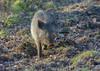 wild boar,  forest of dean (ianwoodthompson) Tags: boar