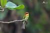 Chestnut-headed Bee-eater栗头蜂虎 (jeffobt) Tags: chestnutheadedbeeeater