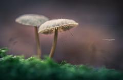 Vintage fringed lampshade (Ingeborg Ruyken) Tags: dropbox autumn october mushroom dawn oisterwijksevennen fall flickr herfst ochtend morning 2017 macro bosfilmpje oktober natuurfotografie 500pxs paddenstoel fungus