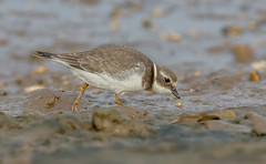 JWL9596 Ringed Plover.. (jefflack Wildlife&Nature) Tags: ringedplover plovers plover birds avian animal animals wildlife wildbirds waterbirds wetlands waders waterways seabirds shorebirds seashore countryside coastalbirds harbours estuaries estuary reservoirs nature coth5 ngc npc