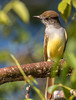 Brown-crested Flycatcher (Myiarchus tyrannulus) (NigelJE) Tags: browncrestedflycatcher flycatcher myiarchustyrannulus myiarchus tyrantflycatcher tyrannidae nigelje ixtapa zihuatanejo guerrero mexico