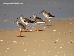 DSC01054 Common Redshanks (Tringa totanus) (vlupadya) Tags: greatnature birds animal aves fauna mdianbirds common redshank tringa kundapura karnataka