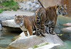 Power Couple (greekgal.esm) Tags: sumatrantiger tiger bigcat cat feline animal mammal carnivore castrojr cj indah losangeleszoo lazoo losangeles griffithpark sony rx10m3 rx10iii