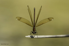 The language of Calopteryx. (Ricardo Menor) Tags: odonatos zygópteros caballitosdeldiablo damsellfly damsellflies airelibre iluminaciónnatural libélulas riovinalopó fontdelacoveta fontdelacoveta2016 2016 canon60d