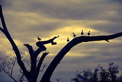 Brazos Bend: At the edge of Elm Lake. (stalnakerjack) Tags: wildlifebirds nature texas brazosbend