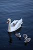 Zwaan met 5 kuikens - Potsdam Neustädter Havelbucht (Rene_Potsdam) Tags: schwan swan potsdam