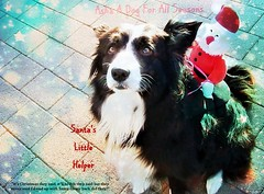 They never said I'd end up with Santa on my back! (ASHA THE BORDER COLLiE) Tags: christmas santa border collie funny dog picture with quote ashathestarofcountydown