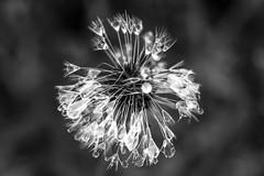 Perle de Pluie... (De l'autre côté du mirOir...) Tags: fleur macro perledepluie noiretblanc noirblanc blackwhite bw nb négroyblanco nikon nikkor d810 nikond810 fr france french bretagne bzh breizh brittany 1050mmf28