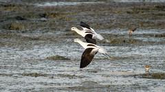 American Avocets (Winter) (Bob Gunderson) Tags: americanavocet baylands birds california northerncalifornia recurvirostraamericana santaclaracounty shorebirds southbay