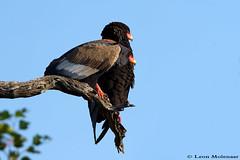 Mr & Mrs Bateleur (leendert3) Tags: leonmolenaar wildlife nature birds krugernationalpark southafrica bateleureagle