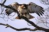 Hawk Landing (Dan Demczuk) Tags: dandemczuk canon 7dmkii nature wildlife aves bird birds burung chim fåglar fugle linnut oiseau osieaux pájaro pajaros pájaros pasari ptáci ptaki ptice uccelli uccello vögel vogels vtáky птахи