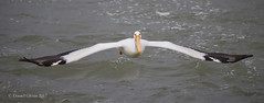 Wingspan of the American White Pelican (danielusescanon) Tags: americanwhitepelican pelecanuserythrorhynchos pelecaniformes pelecanidae birdperfect wild bif flying canada saskatoon