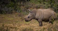 New beginnings... (Coisroux) Tags: rhinoceros rhinocerotidae calves babyanimals newborn wildlife wildlifephotography africanwildlife kwandwe bushveld d5500 nikond nikond5500 portrait whiterhino rhino depthoffield