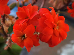 Kalanchoe (AdamsWife) Tags: kalanchoe flower flowers red succulent plant vibrant colourful