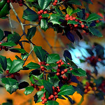 "Cincinnati – Spring Grove Cemetery & Arboretum ""Holly Berries In Autumn"" thumbnail"