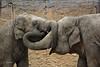 Asiatic Elephants (K.Verhulst) Tags: asiaticelephants aziatischeolifanten elephants olifanten wildlands wildlandsadventurezoo emmen elephant