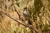 fullsizeoutput_1da55 (phicks172) Tags: bird bosquedelapache 2017 jay scrubjay