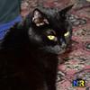 Black Cat (Nikon Ranger) Tags: black blackpussy blackpussycat pussy pussycat cat pet flash sat sitting britishshorthaircat nikond800e