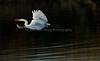 EdenLanding_120917_256 (kwongphotography) Tags: edenlandingecologicalreserve hayward calif ca birds wildlife nature wildlifephotography naturephotography kennethwongphotography kwongphotography egret greategret birdsinflight unitedstates