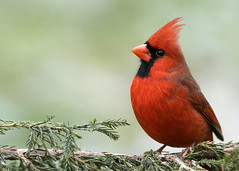 _A991361 (mbisgrove) Tags: bisgrove bird a99ii a99m2 ontario cardinal sony sal70400g2 red feather