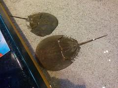 Horseshoe crabs (3) #toronto #ripleysaquarium #aquarium #horseshoecrabs #crabs #crustacean  #latergram (randyfmcdonald) Tags: crabs ripleysaquarium latergram crustacean aquarium horseshoecrabs toronto