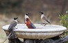 Image 14-12-17 at 2.29 pm (KrysiaB) Tags: birds rosella leatherhead bathing unfriendly abusing angry wet determined australia animals