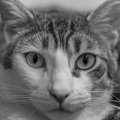 Kiwi (kike.matas) Tags: canon canoneos6d sigma105mf28exdgoshsm sigma kikematas kiwi gato felino mirada ojos bigotes nariz orejas retrato boca pelo cat animal lightroom6 blancoynegro bn bw monocromo андорра