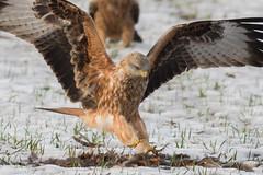 Red Kite Dec 2017 (jgsnow) Tags: bird raptor kite redkite ngc npc