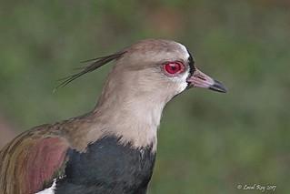 1.03505 Vanneau téro / Vanellus chilensis cayennensis / Southern Lapwing