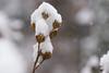 (Light Echoes) Tags: sony a6000 90mm macro 2017 fall december pennsylvania plant tree roseofsharon snow snowflakes bokeh
