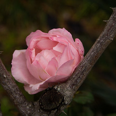 Pink Winter Rose (Ellsasha) Tags: rose rosepetal roses pink pinks plant bush tree