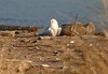 SNOWY OWL in Staten Island, New York, USA. December, 2017 (Tom Turner - NYC) Tags: buboscandiacus snowyowl owl tomturner statenisland newyork nyc bigapple unitedstates usa beach sand winged feathered nature white wildlife migratory migration