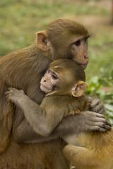 Tendresse (pascal230463) Tags: singe monkey inde india