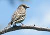 Pine Siskin (Carduelis pinus); Santa Fe National Forest, NM, Thompson Ridge [Lou Feltz] (deserttoad) Tags: nature newmexico bird wildbird songbird siskin mountain nest behavior