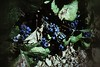 Indigo blues. (Fotofricassee) Tags: grapes vine leaves beaujolais bourgogne vintner wine grape indigo