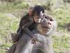 Mom with Baby Hamadryas Baboon (San Diego Shooter) Tags: hamadryasbaboon baboon babyanimal sandiego sandiegozoo animal portrait bokeh monkey