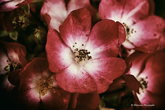 (Monica Muzzioli) Tags: macro roses flowers closeup garden red fiore rose coth5