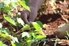 IMG_3973 (Cooperacion Brasil-FAO) Tags: algodón proyecto cooperaciónsursur brasilfao paraguay utd unfao visita