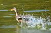 Azulón hembra (amerida59) Tags: patos azulón