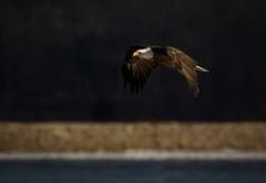 Flight Before Sundown (TroyMarcyPhotography.com) Tags: 2017 400mm 7d american bald bird canon dramatic eagle flight illinois iowa january ld14 lighting midwest mississippi nature river sunset wildlife winter f56l