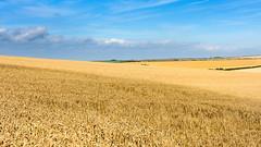 Wheat field (Joe Dunckley) Tags: britain british dorset england english greatbritain isleofpurbeck purbeck southdorset southdorsetdowns uk unitedkingdom agriculture arable bluesky cereal crop farm farming field landscape nature rollinglandscape sky summer sunny wheat